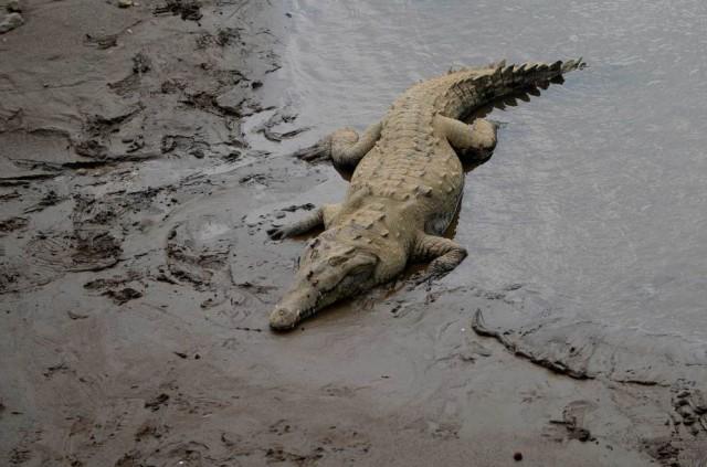 crocodile-1000x661